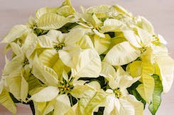 Holiday Plants, Gifts, & Wreaths