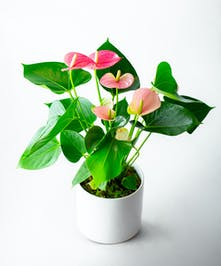 Anthuriums are beautiful tropical plants that are low-light tolerant.