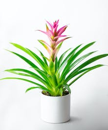 Bromeliads are hearty tropical plants perfect for indoor or outdoor.
