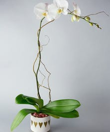 orchid, valentine's day, valentine's plant, plant, orchids