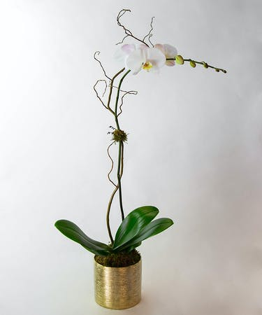 Phalaenopsis Orchid Plant Orlando Fl Flower Delivery In Bloom